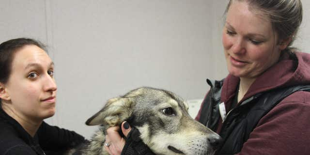 A pre-race blood screening and heart check at Iditarod headquarters in Wasilla, Alaska, on Wednesday.