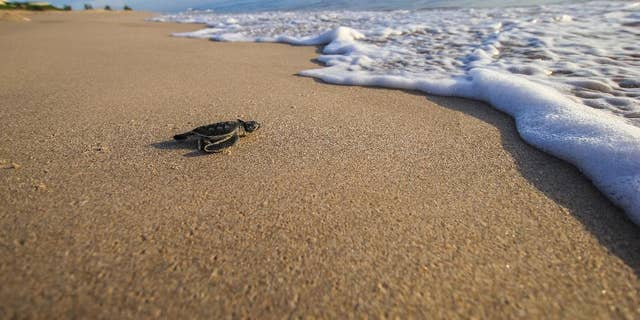 Experts are warning that bright lights and smartphones pose risks to sea turtle hatchlings. In this Aug. 13, 2015 photo made available by the University of Central Florida, a green turtle hatchling makes its way to the Atlantic Ocean at the Archie Carr Wildlife Refuge in Melbourne, Fla.