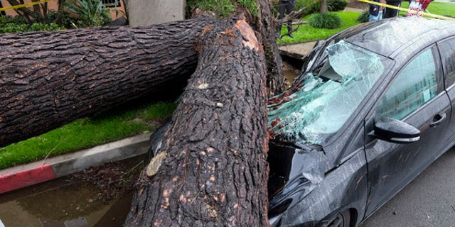 A fallen tree crushes a car outside a residence on Saturday, Feb. 18, 2017, in Sherman Oaks section of Los Angeles.  A huge Pacific storm parked itself over Southern California and unloaded, ravaging roads and opening sinkholes.   (AP Photo/Ringo H.W. Chiu)