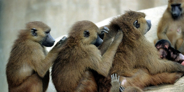 FILE PHOTO: Baboons preen each other at the Paris Zoological Park in the Bois de Vincennes in the east of Paris, France, October 23, 1995. Some fifty baboons escaped January 26, 2018 from their enclosure and most have been recaptured.  Picture taken October 23, 1995.  REUTERS/Mal Langsdon/File Photo - RC117A5CB5F0