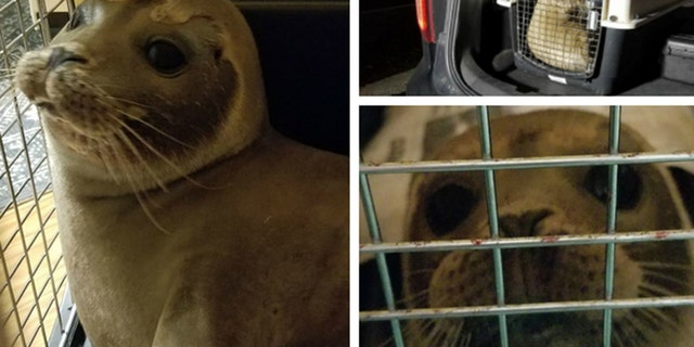 A baby seal was found wandering on a Massachusetts highway before officials rescued and returned the pup back to the ocean.