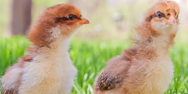 More than 200 cases of salmonella infections across the U.S. have been linked to contact with live backyard poultry, the Centers for Disease Control and Prevention reported.