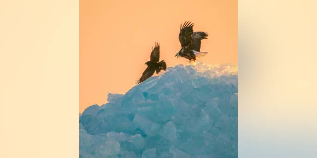 A bald eagle fights off a raven as it perches near the top of a mountain of blue ice in Mackinaw City, Michigan.