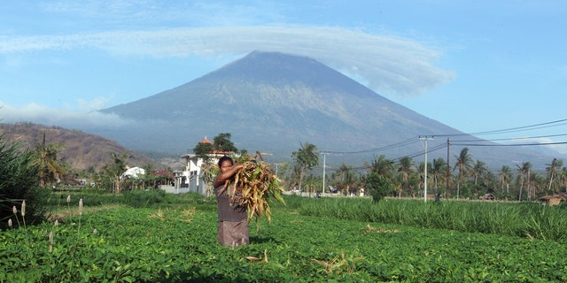 A woman works at a field with Mount Agung seen in the background.