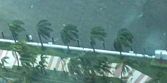 Palm trees violently swaying in the hurricane.