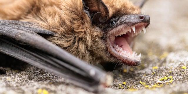 bat showing teeth