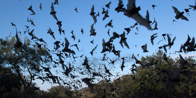 Large migrations of birds, on in this case bats, can be picked up on weather radar.