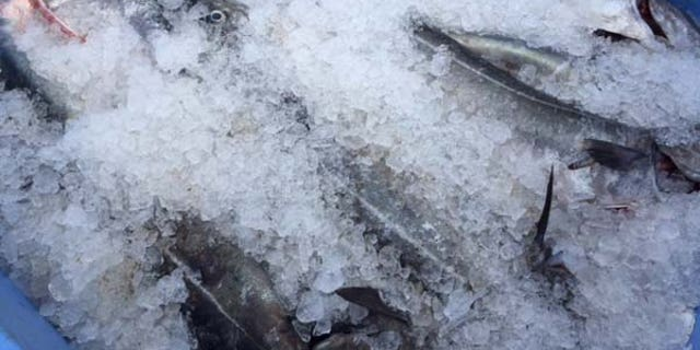 Goethel puts his catch on ice after unloading at the Yankee Fisherman's Co-op in Seabrook.