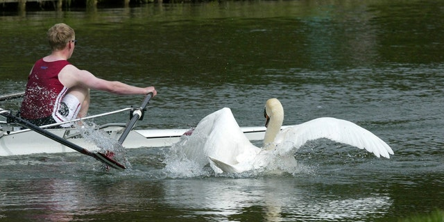 The rowdy swan was seen pecking at people, attacking tourists, eating sandwiches, and even trying to steal handbags.