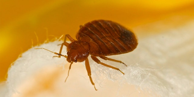 While you may not hear as much about them these days, you'll still want to know how to recognize the signs of bed bug infestations and identifying bug bites of this type.
