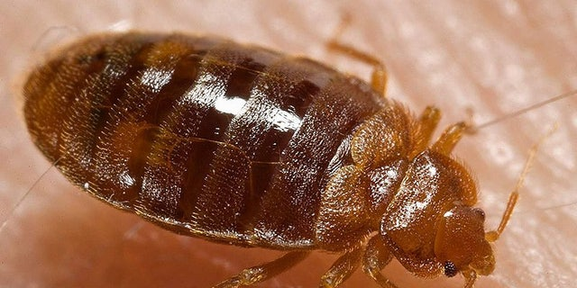 """Bed bugs copulate via """"traumatic insemnation."""" It sounds as bad as it is: the male bed bug will simply pierce the female's abdomen with his penis and inject sperm into the wound."""