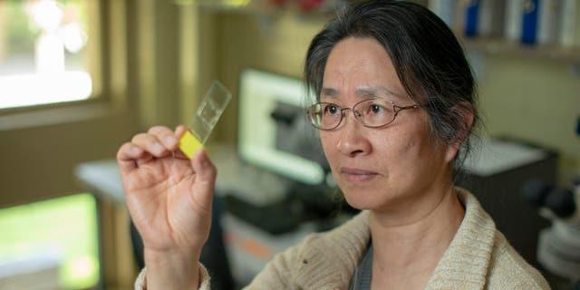 Under a microscope, Professor Li Liu finds and records starch grains