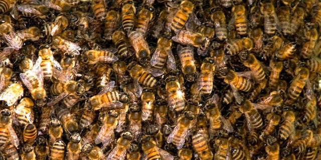 Bee hive in Paloverde tree in Sonoran Desert, Arizona