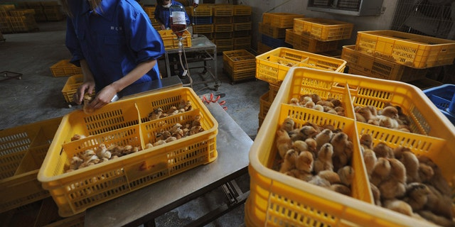 Workers vaccinate chicks with the H9 bird flu vaccine at a farm in Changfeng county, Anhui province, April 14, 2013.