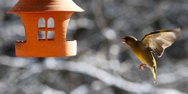 FILE 2012: A bird greenfinch flies to the bird house