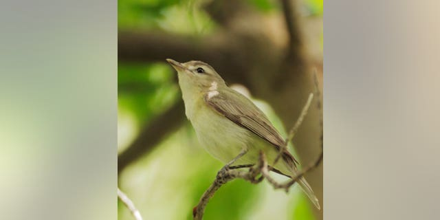 A warbling vireo male surveys the environment during its annual migration.