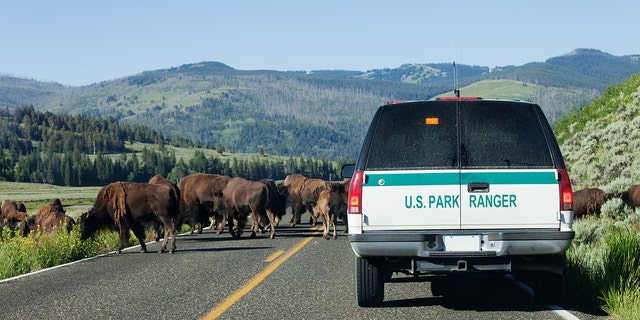 At least one person is gored by a bison each year at the famed park.