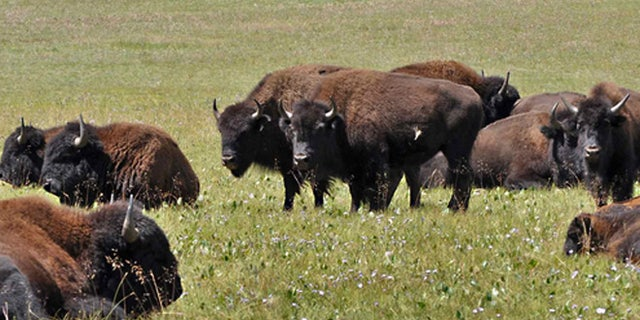 FILE: Bison seen in Arizona's Kaibab National Forest.