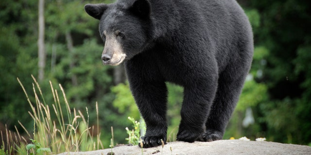 Westlake Legal Group black-bear-1280 Tourists filmed getting dangerously close to a black bear in Tennessee Janine Puhak fox-news/travel/general/national-parks fox-news/lifestyle fox news fnc/great-outdoors fnc article 8e98af03-3017-5e59-9944-72f346e91300