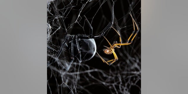 A black widow female dwarfs her male counterpart. Male black widows can 'twerk,' as seen in new video of the spiders' mating dance.