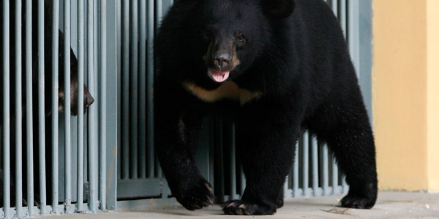 Asiatic black bears are seen at the Vietnam Bear Rescue Centre in Tam Dao National Park, north of Hanoi May 14, 2009 - file photo. (REUTERS/Kham)