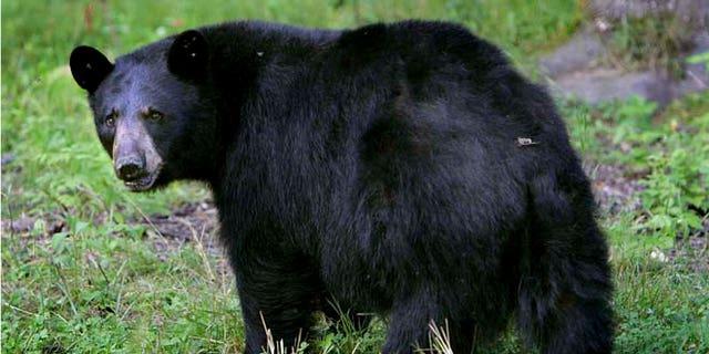 FILE:  A black bear seen in Lyme, N.H.