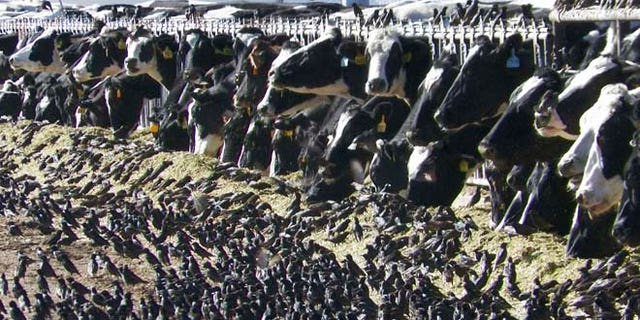 In this undated photo provided by the USDA Animal and Plant Health Inspection Service, a flock of European starlings litter a feedlot in Fallon, Nev. Land owners surprised to discover tens of thousands of dead birds across the high desert are criticizing the federal government over a mass killing of starlings in northern Nevada.