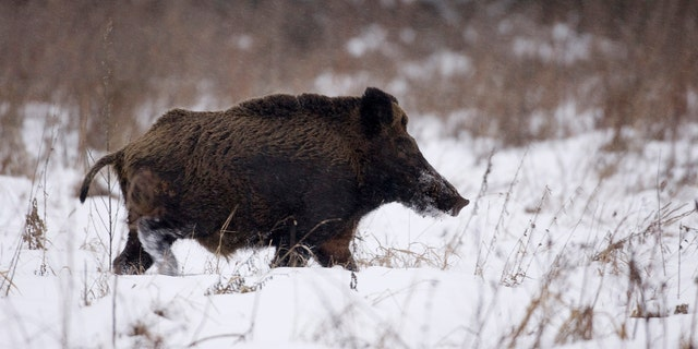 File photo - a wild boar runs in the exclusion zone around the Chernobyl nuclear reactor near the village of Babchin, some 217 miles southeast of Minsk, January 9, 2009.