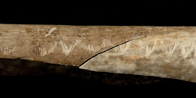 The engraved forearm bone discovered at Gough's Cave (Trustees of the Natural History Museum, London 2017)