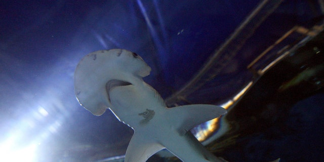 File photo - a Bonnethead shark at Chessington World of Adventures, Surrey, U.K. (Photo by Steve Parsons/PA Images via Getty Images)