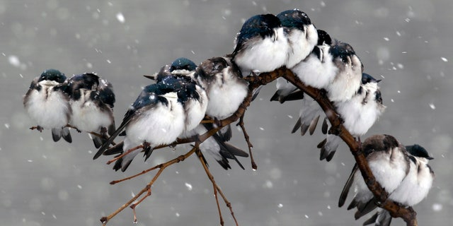 Birds perch on a branch during a spring snowstorm in Pembroke, N.Y.