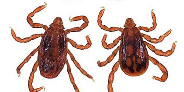 A brown dog tick.