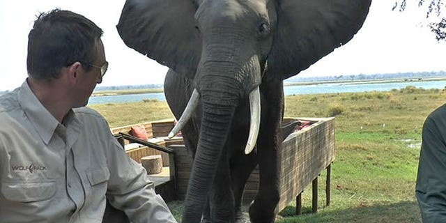 Video shows the elephant approaching the table, flapping its ears, which the animals use to scare off potential threats.