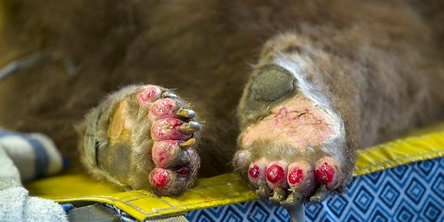 The badly burned paws of one of two bears being treated by Dr. Laura Peyton at the University of California, Davis, Veterinary Medical Teaching Hospital at the California Department of Fish and Wildlife in Davis, Calif.