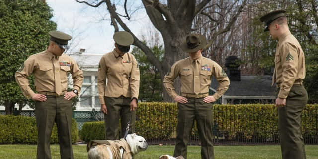 Chesty XIV meets Chesty XV for the first time at Marine Barracks Washington, March 19, 2018. Chesty the XV is beginning his training to become the new Marine Corps Mascot and will be taking over the position by 2019.