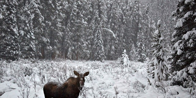 A moose kicked a man's foot last week in Alaska -- after he'd already given it a kick, KTVA-TV reports.