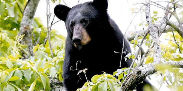 A black bear is shown in this undated handout photo provided by the State of Louisiana Department of Wildlife and Fisheries, March 10, 2016 - file photo.