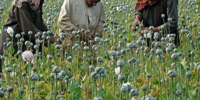 Afghan farmers harvest opium in April 2014.