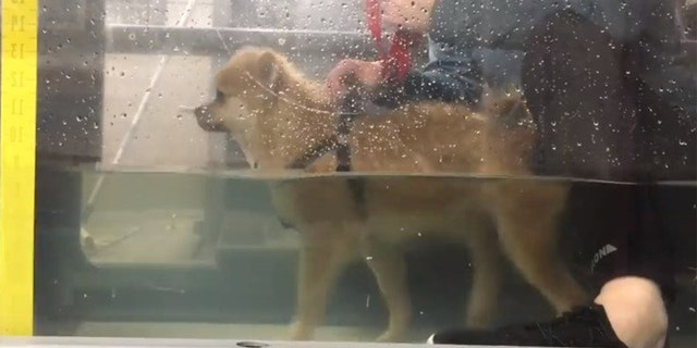 The pom's new parents enrolled their pooch in a rehabilitation program, Water For Dogs, which saw Penny take part in hydrotherapy once a week ever since her adoption.