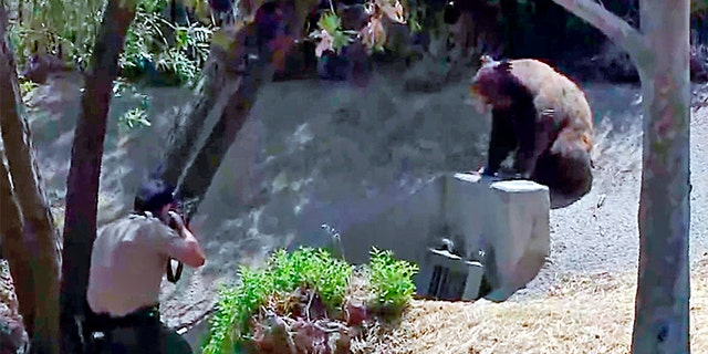 In this image taken from video provided by CBS2/KCAL9, a state wildlife control officer fires a tranquilizer dart at the bear.