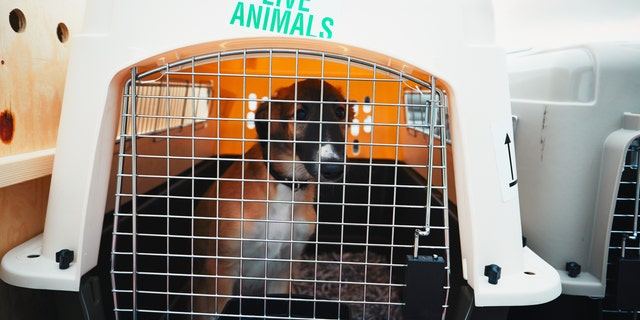 Joey (not pictured) is at a dog hotel in Germany with a trainer while he waits to be reunited with his family.