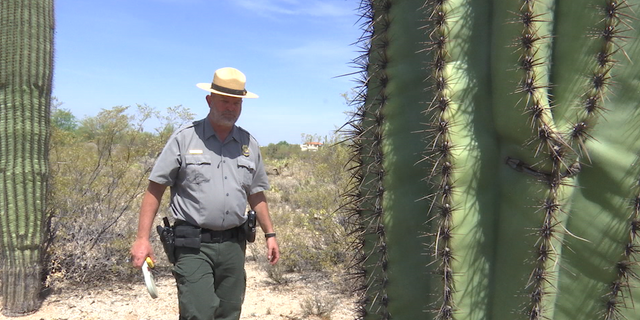Ray O'Neil, chief ranger of Saguaro National Park, estimates 20 to 30 cacti are stolen from the park each year.