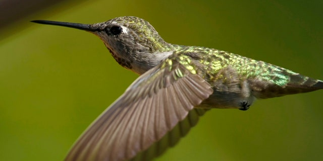 An Anna's Hummingbird in California.