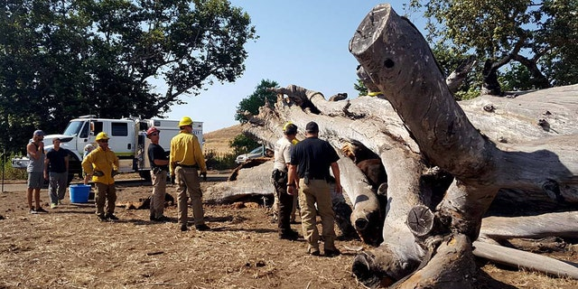 A group of cows needed to be rescued after ended up trapped under a massive fallen tree.