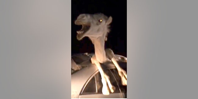 """This is the bizarre moment a camel tried to free itself from a car after it smashes through the windshield after a head on collision. See SWNS story SWCAMEL; Passers-by battled for nearly four hours to rescue the camel. The incident occurred near Bikaner in Rajasthan, India, on July 9. Eyewitnesses said a speeding car collided with the camel, which suddenly stepped into the highway. The camel flew into the car shattering the windshield under the impact of the collision. Rajat Singh, 23, a resident of Bikaner, said: """"The camel was horribly entangled. Its head popped out of the sun roof of the car."""" Passers-by rushed to help and shifted the injured driver to a nearby hospital. They then cut open the roof of the car and a door to free the badly injured camel, which was also shifted to a veterinary hospital for treatment."""