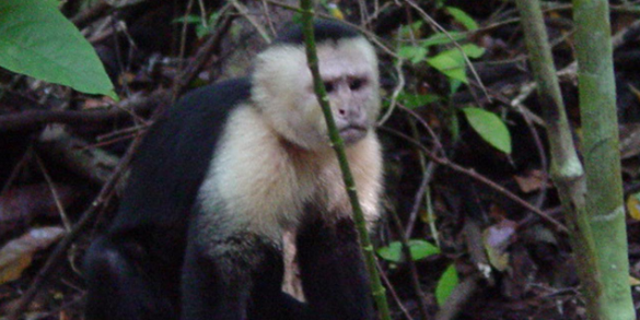 The white-faced capuchin is a species of monkeys living in Panama. Scientists have observed the capuchins using stones as tools.