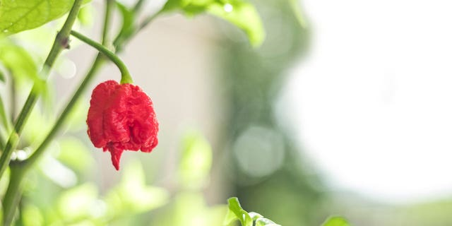 The man who bred the Carolina Reaper (above) has a new pepper he's trying to get verified as the world's hottest.