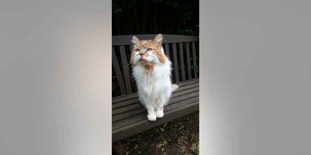 The cat, who is the equivalent of 137 human years, is a great big fluffy Maine Coon and in great condition for his age.