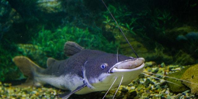 sheatfish lies on the bottom of the aquarium a good pet