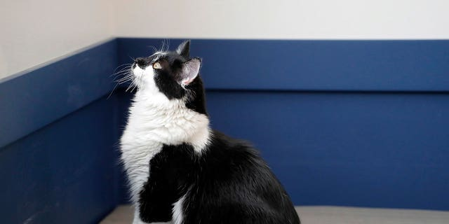Support Dogs, Inc. in St. Louis took in the black and white cat over the summer and named him D-O-G (dee-OH'-jee).